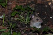 Myszarka leśna, mysz leśna (Apodemus flavicollis)